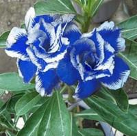 wholesale2 Pcs Desert Rose Graines Bleu avec White Side Garden Home Bonsaiplant bonsaï