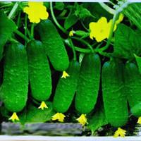 Sementes de pepino 50 sementes vegetais para casa jardim plantando pepino fruta doce e crocante dia chiehqua