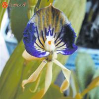 Wholesale50 Blue Octopus Orchid Balcon Jardin Plantes Graines Chine Rare Fleur Orchidplant Bonsaï