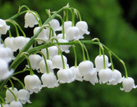 الإرث White Lily of the Valley Convallaria majalis بذور زهرة معمرة ، حزمة المهنية ، 50 بذور / حزمة ، جميلة جدا