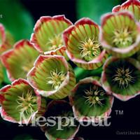 100 pçs / saco Enkianthus Planta Sementes de Flores Plantas Em Vasos Diy Interior / Outdoor Potes Taxa de Germinação de Sementes De 95% Misturado Cores lâmpada