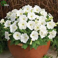 Graines de pétunia blanches graines de fleurs Bonsaï plante pour la maison jardin 200 particules / lot c010