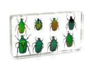 8 Gül Chafer Böceği Set Numune Reçine Gömülü Gerçek Böcekleri ToysGifts Şeffaf Fare Paperweight Çocuklar Yeni Tip Biyoloji Bilimi Kitleri
