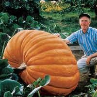 진정한 자이언트 호박 씨앗, 큰 스쿼시 장식 조롱박 씨앗, 가정 정원 10pcs / 가방에 대한 분재 유기농 과일 야채 씨앗