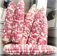 Sweet Colorful Waxy Corn 50 Seeds Non- GMO Easy- growing DIY H...