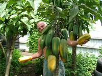 100 % 진정한 희귀 분재, 15pcs / 가방 씨앗 드워프 파파야 (과일 유기 카리카 파파야의 Carica Sweet Papaya 씨앗) 파파야 씨앗. 식용 jlkvk.