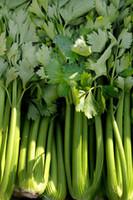 100 Sellerie Samen Utah Tall 52/70 - Garten Gemüsesamen T014