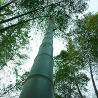 100pcs / bag 거 대 한 Moso 대나무 씨앗 Moso 대나무 나무 씨앗 홈 정원 안뜰 대나무 씨앗