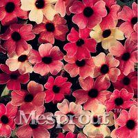 10 PZ Bella Fiore Semi Thunbergia Alata Alba Arancione Nero-occhi Susan Semi di Fiori Bonsai In Vaso In Vaso Giardino di Casa