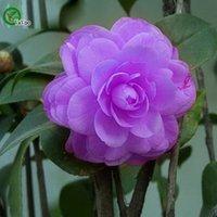 Camellia graines de promotion organique balcon bonsaï graines de fleurs plantes à fleurs 10 pcs f012