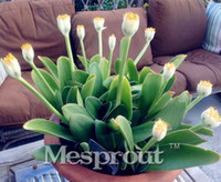 100 pçs / saco Bonsai Sementes de Flores De Tênis Branco Raro Roxo Branco Sementes de Flores Para Casa Jardim Vasos de Plantas Perenes Sementes de Flores