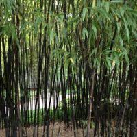 분재 씨앗 블랙 대나무 씨앗 Phyllostachys Nigra 정원 장식 공장 블랙 culmed 거친 대나무 - 종자 100pcs B49