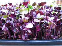 Heirloom Sango Purple Rettich sprießen Gemüsesamen, Professional Pack, 150 Samen / Pack, die beste Microgreen Indoor # NF761