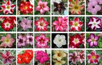 10 pcs Réel Adenium obesum Graines Desert Rose Graine De Fleur Maison Jardin Bonsaï Plantes Succulentes Graines Pour Exemple De Commande