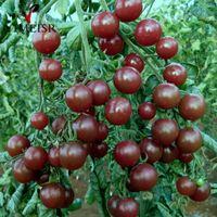 50 Pcs / bag 블랙 체리 토마토 씨앗 발코니 유기농 과일 씨앗 야채 화분 분재 식물 홈 씨앗을위한 토마토 씨앗