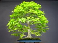 Seifu Seeds Bonsai seeds 50pcs / pack Dawn Redwood Bonsai Tree Grove - Metasequoia glyptostroboides, bricolaje de jardinería en casa!