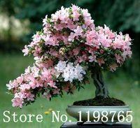 Japanische Sakura Blumensamen 10 teile / los Kirschblüten Bonsai baum Samen Sakura Samen 6 Farbe kirsche Kostenloser Versand