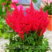Graines de fleurs vivaces Astilbe rouge False Spiraea, paquet de 100 graines, résistant au froid, bonsaï home * Little Garden