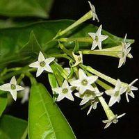 Blumensamen Bonsai Nacht blühende Jasmin Topfpflanzensamen Cestrum Nocturnum duftenden Strauch Schatten freies Verschiffen 30pcs W036