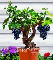 큰 판매! 소형 포도 덩굴 씨앗, PATIO SYRAH, Vitis Vinifera, Houseplant, 50 종자, 과일 분재 종자 # 1UM2LB