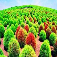 DIY 100 씨앗 홈 정원 식물 중국 Broomsedge 잔디 종자 T062