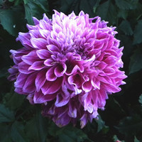 A Package 100 Pieces Purple Dahlia Seeds Sweet Potatoes Dahlia Flower Seeds Perennial for DIY Home Garden
