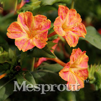 20 STÜCKE Red Dot Gelbe Petals Jasmin Samen Duftende Pflanze Mirabilis Jasmin Bonsai Topfpflanzen Blumensamen