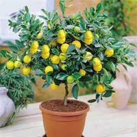 50 pièces / sac Graines de citron arbre taux de survie élevé bonsaï semences de fruits pour la maison jardin Bonsaï graines de fleurs