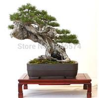 Semi dell'albero di pino di promozione Vendita calda Pinus thunbergii semi semi bonsai giardino domestico di DIY spedizione gratuita - 60pcs