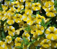 Rare tranche de citron rares Superbells Calibrachoa Pétunia annuelle Graines de fleurs 200 graines / Paquet