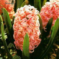 wholesale100 오렌지 Hyacinthus Orientalis 씨앗 히아 킨 토 화분 화분 분재 Balconyplant 분재