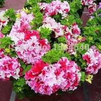 Petunia Petalia Blütenblätter Blumensamen Pflanzensamen - 200PCplant Bonsai