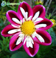희귀 레드와 화이트 포인트 달리아의 씨앗 DIY 홈 가든에 대한 아름다운 다년생 꽃 씨앗 달리아 가든 50PCS / 팩