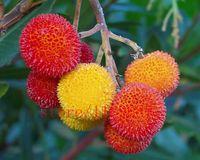 200 pcs / sac graines de laurier rouge, graines de fraises, fruits biologiques et semences de légumes, plante à croissance naturelle pour le jardin de la maison