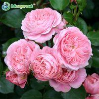 Семена роз , вьющиеся растения , Polyantha rose, китайский цветок восхождение семена роз , 100 шт./пакет(смешанный цвет)