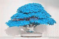 20 шт./пакет бонсай синий клен семена бонсай дерево семена. редкие японские небесно-голубые семена клена. Балкон растения для домашнего сада
