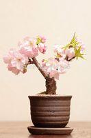 Сакура семена бонсай цветочные горшки плантаторы легко посадить DIY другой домашний продукт редкие семена цветов
