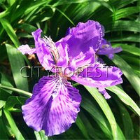 20 Germanica Iris Blue Purple Flower Seeds Easy to grow Idea...