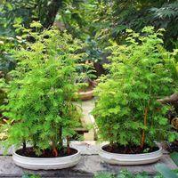 200 unids / bolsa Dawn Redwood Bonsai Tree Grove Metasequoia Glyptostroboides semillas de árboles planta en maceta para el jardín de su casa fácil de cultivar