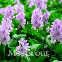 Редчайшие экзотические Eichhornia Crassipes семена высшего качества водных растений DIY сад двор завод очень легко завод