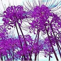 venta al por mayor Bombilla de Lycoris púrpura, lirio de araña, Lycoris Radiata - 5 bulbos jardín de plantas de bonsai