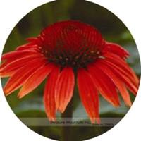 Großhandel Heirloom Red Ruby Echinacea Mehrjährige Coneflower Samen, Professionelle Pack, 200PCplant bonsai