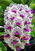wholesale100pcs орхидея цимбидиум,орхидея цимбидиум,семена cyidium Белый Фиолетовый Colorplant бонсай
