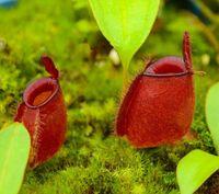 식충 성 잔디 Dionaea Muscipula 사과 Nepenthesseeds 다양한 종류의 하이브리드 분재 식물 50pcs에 대한 종자