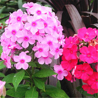 Phlox drummo Flower 100 Seeds Mix- color Easy- growing DIY Hom...