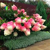 50pcs / bag 꽃을 심기 위해 바닐라 딸기 수국 꽃 씨앗 분재 또는 나무 씨앗 수국 Macrophylla 홈 가든