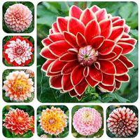 الجديد! 100 قطع رائع نادر rainbow بذور الداليا ، الصينية الفاوانيا بونساي بذور زهرة 10 الألوان لاختيار للمنزل حديقة plantting