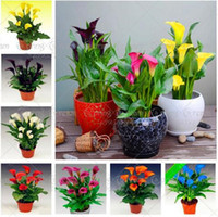 100 Unids / bolsa Rainbow Calla Lily Semillas Semillas de Plantas de Flores Bonsai Plantas de Interior Semillas de Flores Jardín En Casa Semillas Diy Regalo Para Esposa