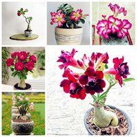 セール!珍しい砂漠のバラの種子鉢植えの花の種子アデニウム肥満色オプション100%真実の種すべての撮影5 PC送料無料
