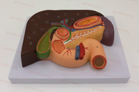 Anatomical Liver with Gall Bladder, Pancreas and Duodenum Mo...